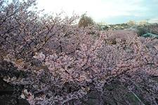 河津桜を見る 春の三浦海岸の格安旅行の画像
