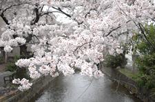 京都でお花見。高瀬川、木屋町通りのおすすめ桜スポットの画像
