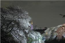 東京のお花見名所、千鳥ヶ淵・靖国神社で夜桜さんぽの画像