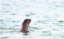 北海道稚内の抜海港でかわいい野生のゴマフアザラシを見る旅の画像